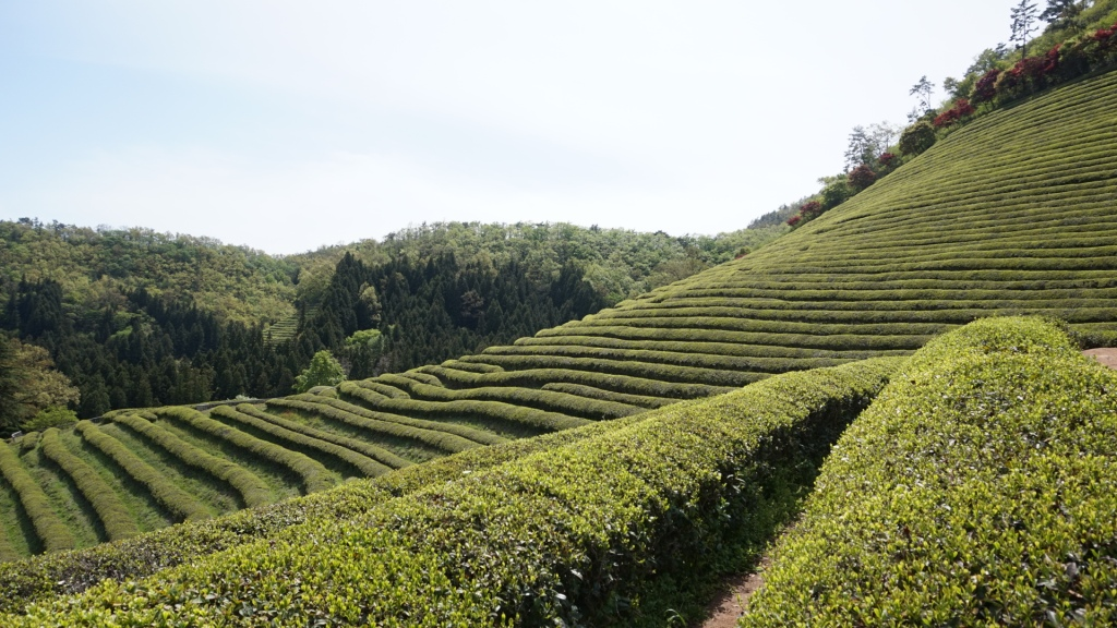 green tea fields in boseong south korea
